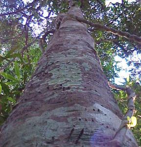 agarwood-288x300